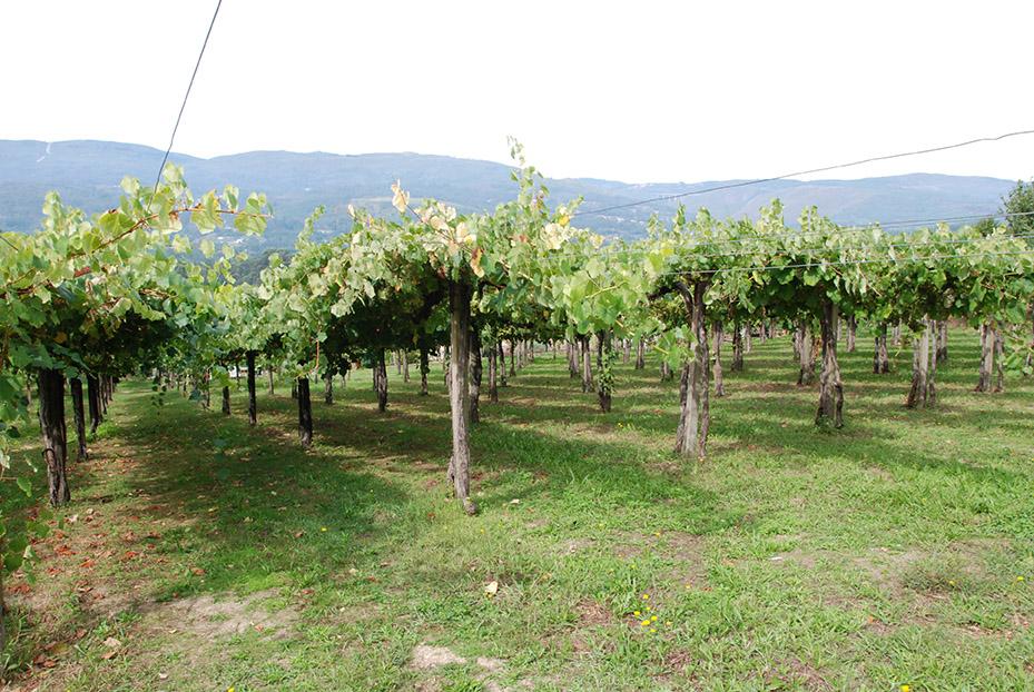 vinedos-de-uva-albarina